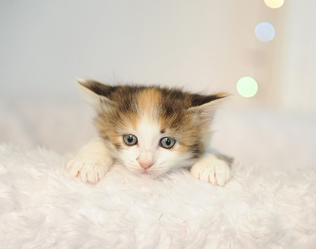 Little Cute Kitten Peeking Out Of A White Fluffy Chair. Christmas Lights In  The Background