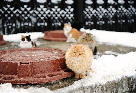 Street cats in winter landscape. Bask on a heating with hatches. Peach fluffy cat in the foreground