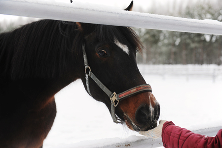 skewbald: The brown horse is eating sugar with hands on the background of winter landscape Stock Photo