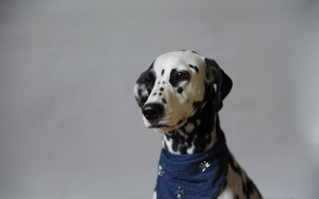 Dog dalmatian in jeans cravat. Portrait on a light background with free space for text or design Stock Photo