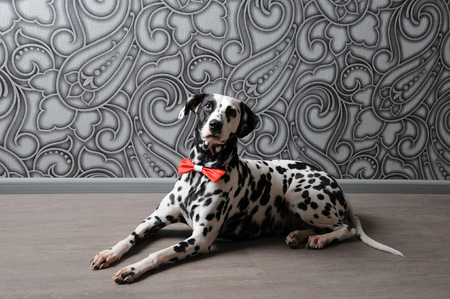 Dog dalmatian in a red bow tie in stylish gray-steel interior. Wallpapers with monograms