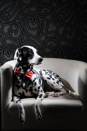 Dog dalmatian in a red bow tie on a white chair in a steel-gray interior. Hard studio lighting. Artistic portrait Stock Photo