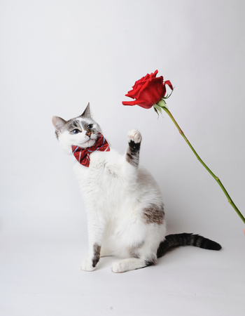 White fluffy blue-eyed cat in a stylish bow tie on a light background with a red rose. Maroon silk bow tie with a pattern
