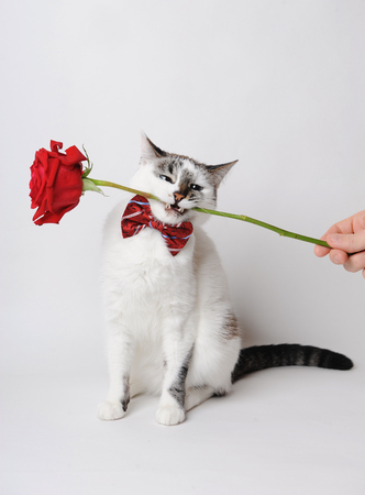 White fluffy blue-eyed cat in a stylish bow tie on a light background holding a red rose in her teeth