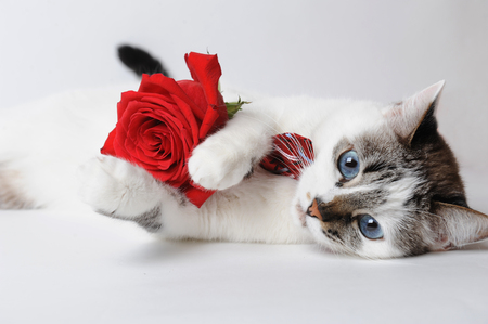 White fluffy blue-eyed cat in a stylish bow tie lying on a light background and holding a red rose in arms. Silk maroon bow tie with a pattern Stock Photo