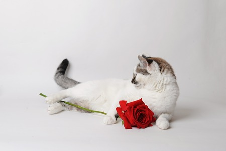 White fluffy blue-eyed cat lying on a light background and embracing a red rose. Stock Photo