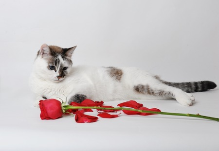 White fluffy blue-eyed cat lying on a light background in a graceful pose with a red rose and petals