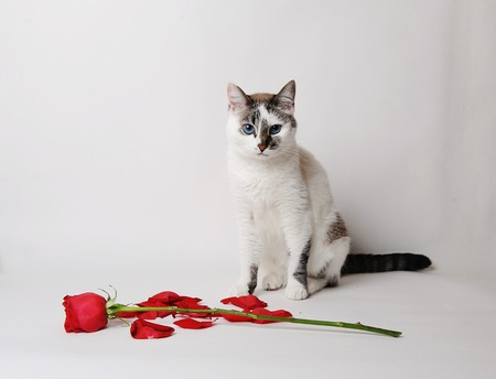 White fluffy blue-eyed cat sitting on a light background in a graceful pose next to a red rose and petals