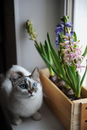 White cat with blue eyes and delicate spring hyacinth flowers in a wooden box on a window sill. Pink, blue colors