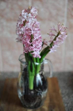 Tender pink flowers of hyacinth bulbs in a glass jar vase nice stock photo tender pink flowers of hyacinth bulbs in a glass jar vase nice pink background spring mood mightylinksfo
