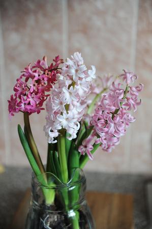 Tender Pink Flowers Of Hyacinth Bulbs In A Glass Jar Vase Nice