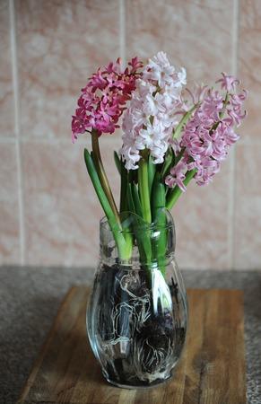 Tender pink flowers of hyacinth bulbs in a glass jar vase. Nice pink background. Spring mood