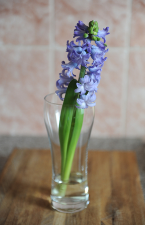 Tender blue hyacinth flowers in a glass vase with water. Nice pink background, wooden table, spring mood
