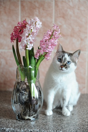 White cat with blue eyes and pink flowers hyacinth in glass vase. Tender pink background, spring mood