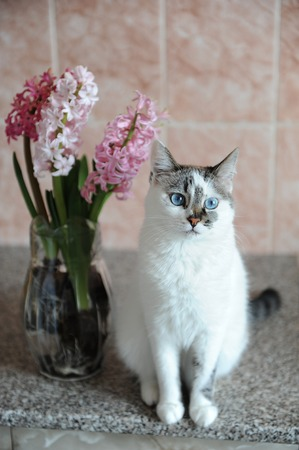 White Cat With Blue Eyes And Pink Flowers Hyacinth In Glass Vase