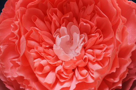 Huge growth gentle flower peony paper closeup. Blue wall on background Stock Photo
