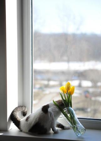 White fluffy cat and bouquet of flowers yellow tulips in a glass vase on a windowsill