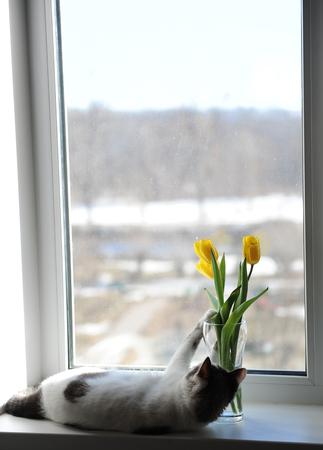 Weiße Flaumige Katze Und Blumenstrauß Von Gelben Tulpen Der Blumen ...