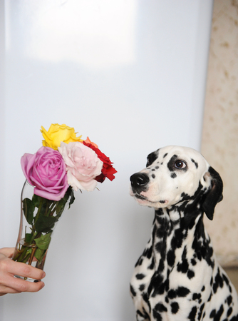 Dog dalmatian and bouquet of roses in glass vase. White background, free space for design
