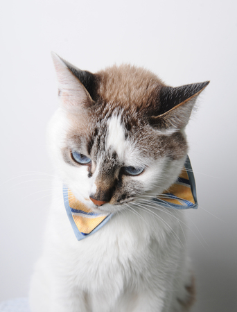 White blue-eyed cat in a bow tie on white background, sadly or thoughtfully lowered his head