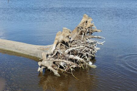 An old uprooted tree snag in the water