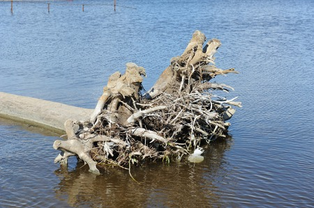 ossified: An old uprooted tree snag in the water