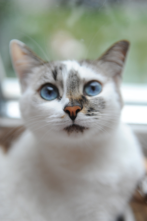 Large portrait of white cute fluffy blue-eyed cat. Window in the background Stock Photo