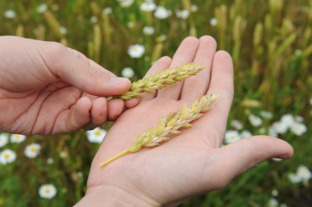 Ripe ears of rye on the palm closeup against the background of the field Stock Photo