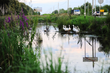 White geese are floating in the pond near the roadway
