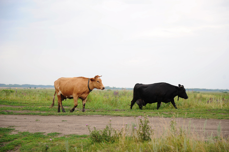 Black and brown cows go on the road through field