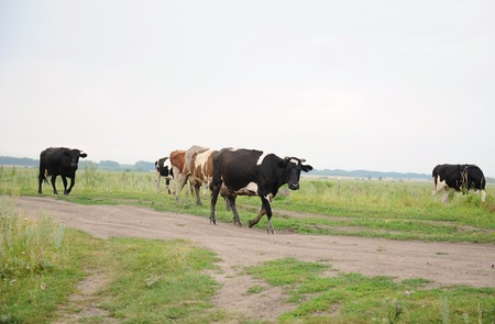 Cows go on the road through field