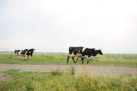 Cows go on the road through the field