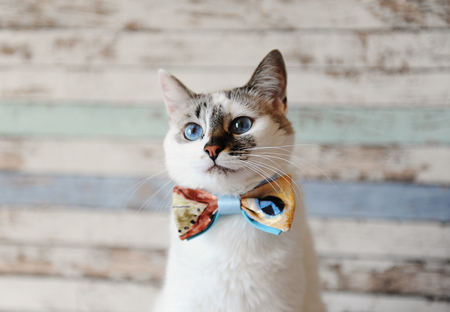 Portrait of white fluffy blue-eyed cat in a bow tie against a vintage wooden wall Stok Fotoğraf