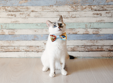 White fluffy blue-eyed cat in a bow tie against a vintage wooden wall Фото со стока
