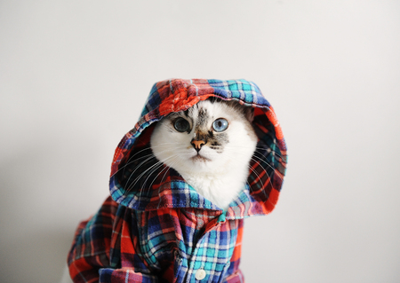 White fluffy blue-eyed cat in a plaid shirt with a hood on a light background. Close-up portrait Stok Fotoğraf
