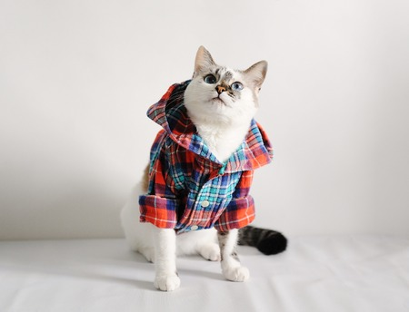White fluffy blue-eyed cat in a plaid shirt with a hood on a light background