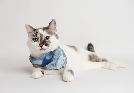 Cute fluffy white blue-eyed cat in a blue scarf on white background isolated
