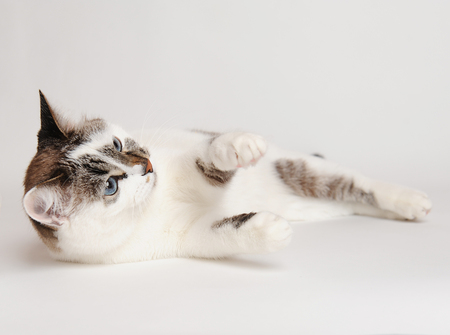 White fluffy blue-eyed cat playing lying on back on a white background isolated