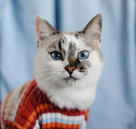 White fluffy blue-eyed cat dressed in striped orange sweater. Trendy stylish close portrait on single light blue denim background. Fashion look