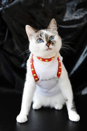 White blue-eyed cute cat dressed in t-shirt and a red leather harness. Stylish outfit with accessories. Black background