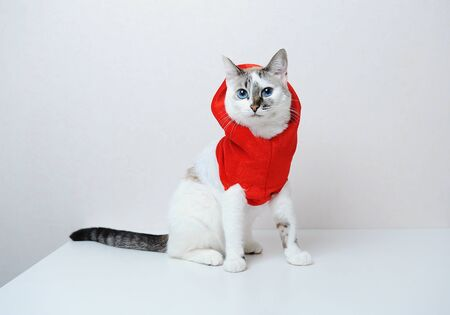 Cute blue-eyed cat in red Christmas hoodie jacket with fur on a white background. Free space, isolated