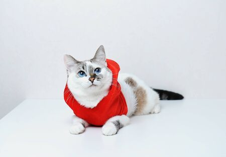 Cute blue-eyed cat in red Christmas jacket hoodie with fur lies on a white background. Free space for design, isolated Reklamní fotografie