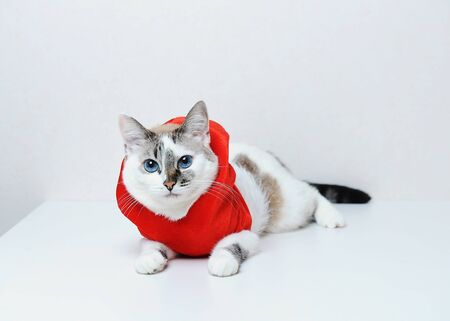 Cute blue-eyed cat in red Christmas hoodie jacket with fur lies on a white background. Free space, isolated