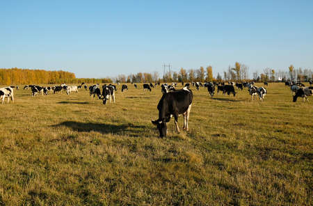 Cows herd on autumn meadow. Leftover fresh grass. Blue sky