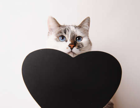 Cute blue eyed cat with black chalk heart shaped board. Isolated, white background