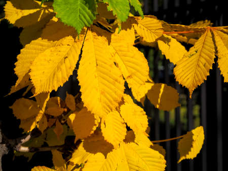 autumn leaves on a bright sunny day, chestnut and maple 免版税图像