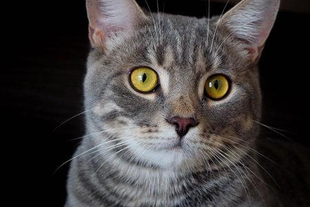gray cat with stripes on a dark background 免版税图像
