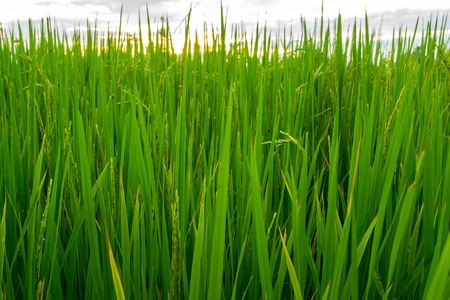 green plants: Green of rice in paddy rice field Stock Photo