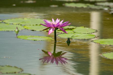 magenta: Magenta lotus flower in pond.