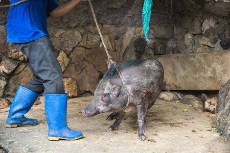 tortured: The boar was captured, tortured